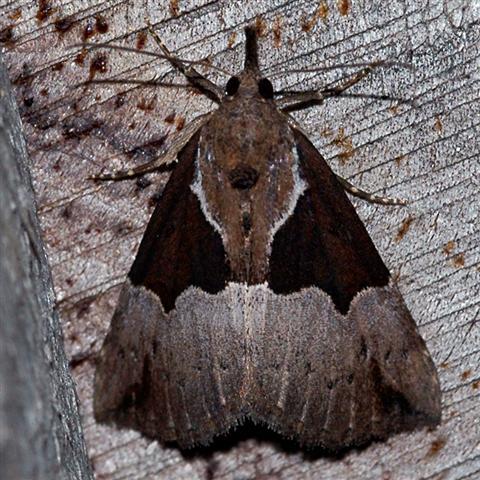 Dimorphic Bomolocha Moth - Hypena bijugalis