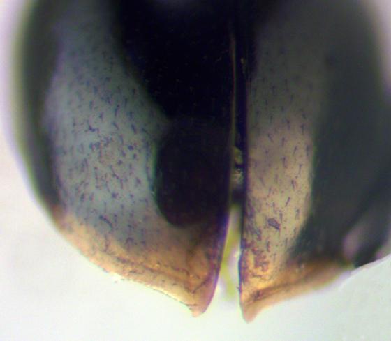 Cybocephalus sp? - Cybocephalus