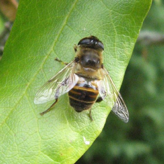 Syrphidae 03a - Eristalis tenax
