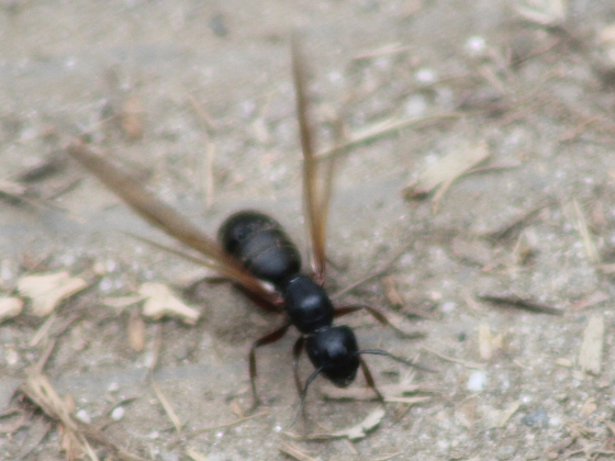 Larged, winged ant - Camponotus modoc