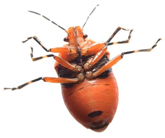 Orange Pent - Perillus exaptus