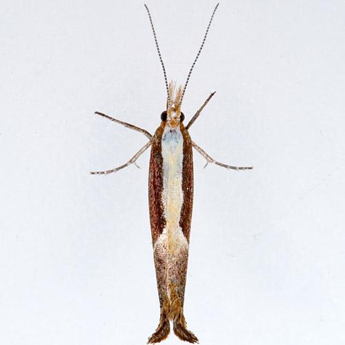 Hodges # 2375 Honeysuckle Moth - Ypsolopha dentella