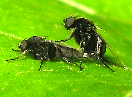 Flies mating - Phora - male - female