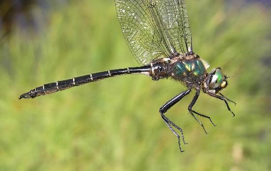 Ringed Emerald - Somatochlora albicincta - male