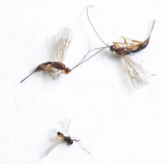 Goldenrod round gall parasitoid fauna - Heterospilus eurostae - female