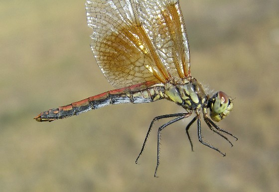 Band-winged Meadowhawk - Sympetrum semicinctum - female