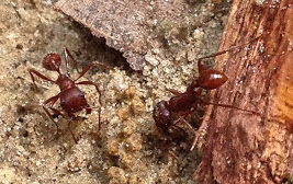 Bull Ants - Pogonomyrmex badius
