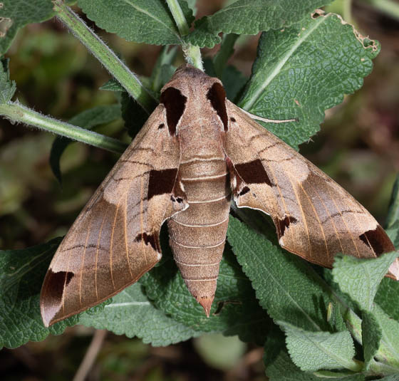 moth ID? - Eumorpha achemon