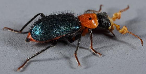 Utah Collops - Collops bipunctatus - male