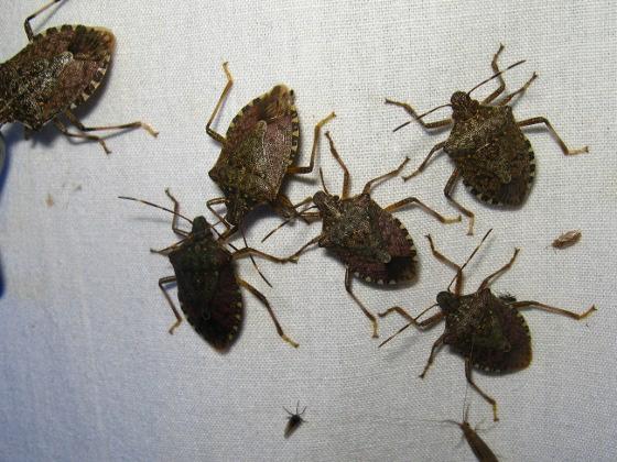 too many stink bugs - Halyomorpha halys