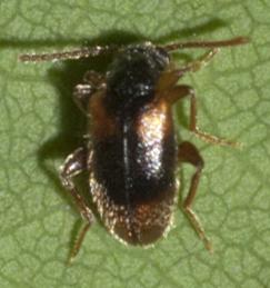 Antlike Leaf Beetle - Zonantes fasciatus