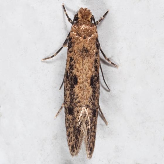 Niditinea orleansella