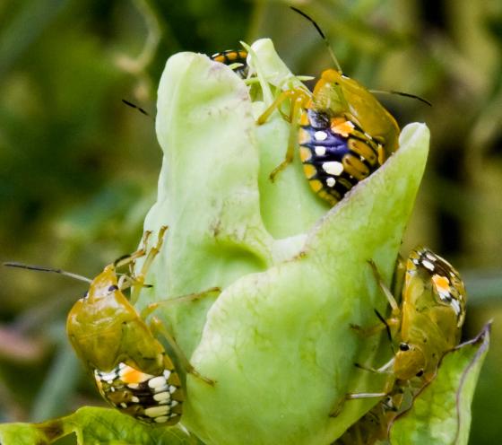 Southern Green Stink Bug - Nezara viridula - Chinavia marginata