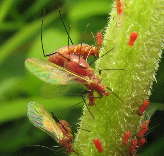 Goldenrod aphids. Another kind of goldenrod fauna. - Uroleucon