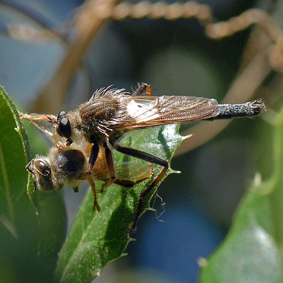 ID for a Southern California robber fly?