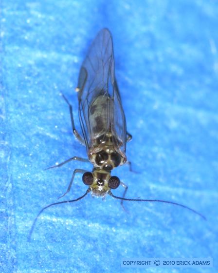 Louse near my house - Blastopsocus variabilis - male