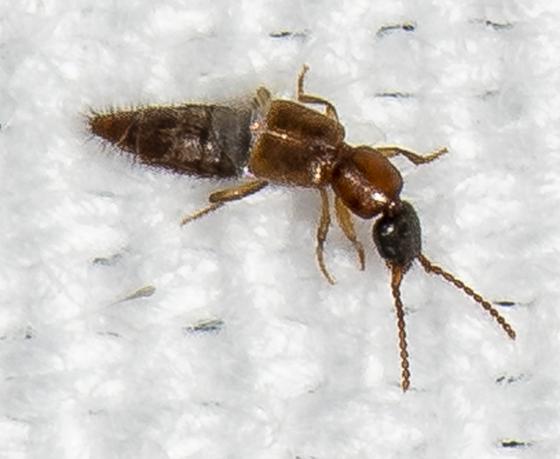 Rove Beetle ID request - Lithocharis