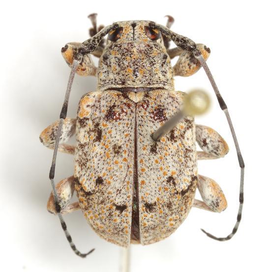Thryallis undatus  (Chevrolat) - Thryallis undatus
