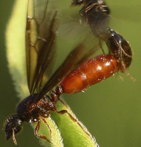 queen with red abdomen - Carebara longii - male - female