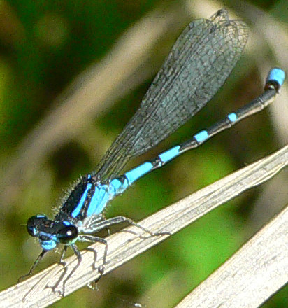 Pine Barrens Bluet - Enallagma recurvatum - male