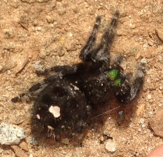 unknown spider - Phidippus audax