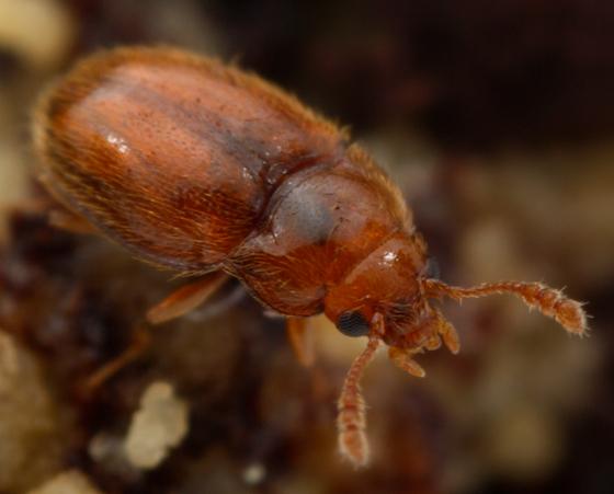 tiny beetle - Symbiotes gibberosus