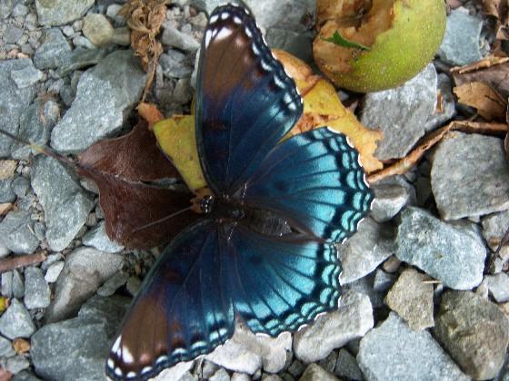 Red-Spotted Purple - Limenitis arthemis?  Male?  Female? - Limenitis arthemis - female