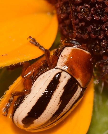 Small beetle - Cryptocephalus venustus