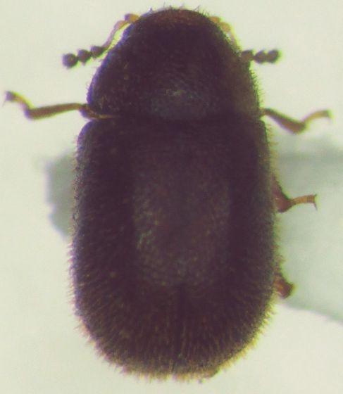 Small Coleoptera - Malacocis brevicollis