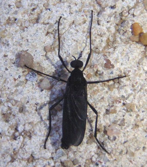 Unknown Fly - Penthetria heteroptera - male