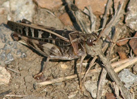 leopard print/camoflage print grasshopper - Hippiscus ocelote - male