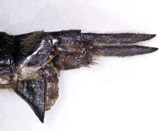 Ski-tailed Emerald, closeup of female terminalia, 2nd individual - Somatochlora elongata - female