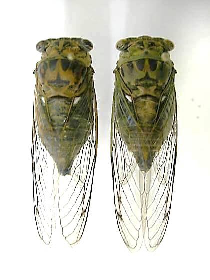Tibicen pruinosus (RECTO) - Neotibicen pruinosus - male