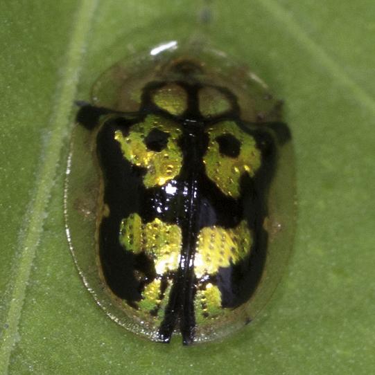 Gold bug - Deloyala lecontii