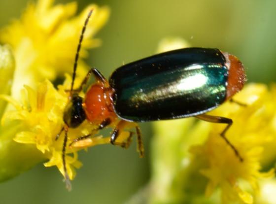 26aug2012-col2 - Lebia viridipennis