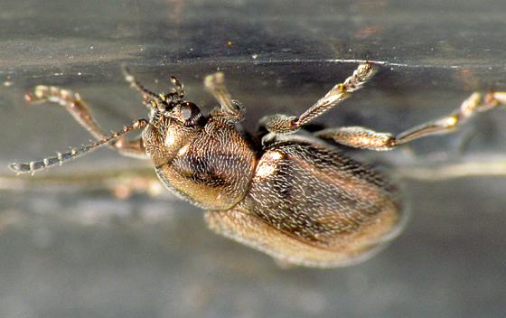 Bronzy Little Beetle - Graphops pubescens