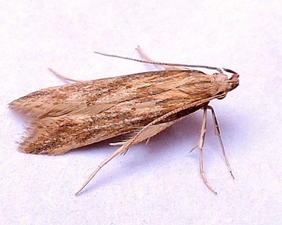 Pennsylvania Moth   - Metzneria lappella