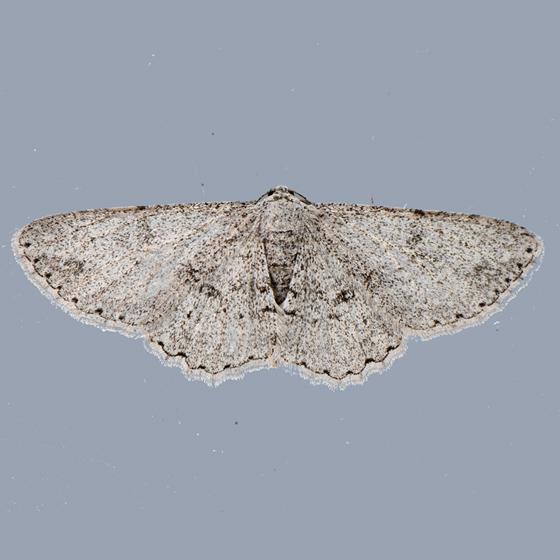 6585 - Iridopsis fragilaria