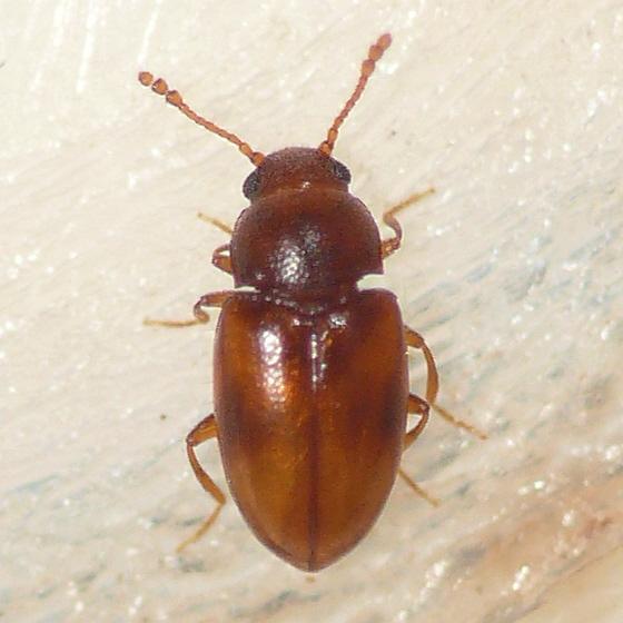 Lizard beetle - Toramus pulchellus