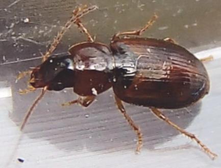 Agonoleptus or- Stenolophus  - Stenolophus