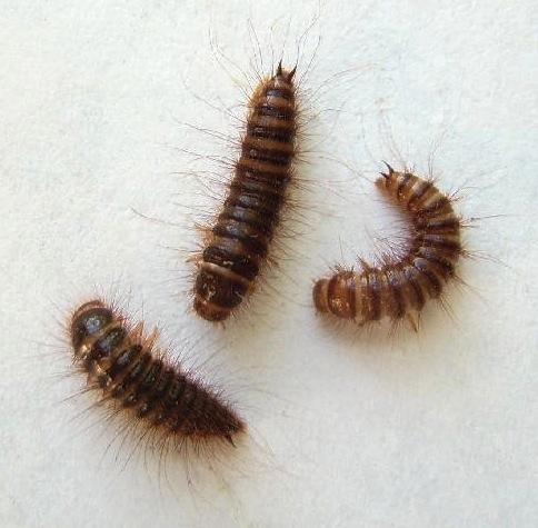 Larder Beetle Larvae - Dermestes lardarius