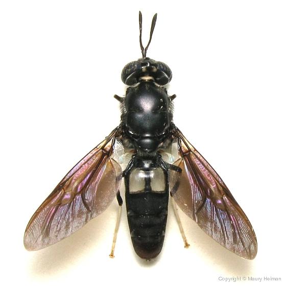 Black Soldier Fly - Hermatia illucens - Hermetia illucens
