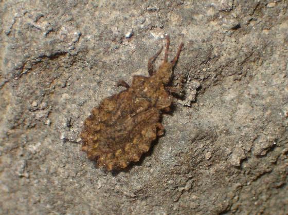 Aradidae? - Aradus crenatus