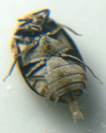 Carpet beetle, but what's that on his tail end? - Anthrenus verbasci - female