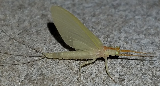 Anthopotamus sp.? - Anthopotamus myops