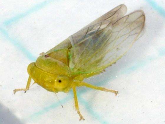 Leafhopper - Idiocerus pallidus - male