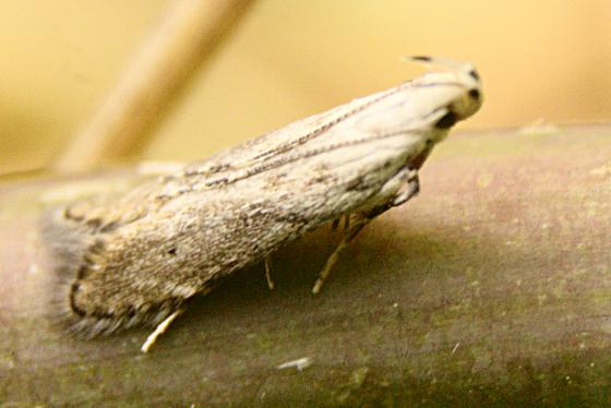 Gelechiid? - Monochroa angustipennella
