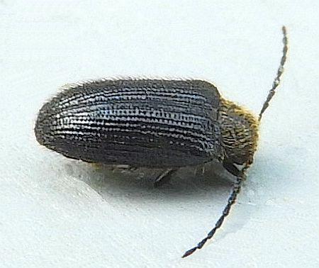 Pennsylvania Beetle  - Eurypogon niger