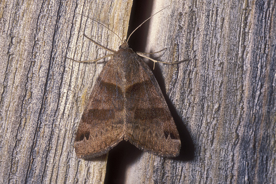 Moth species - Caenurgina crassiuscula