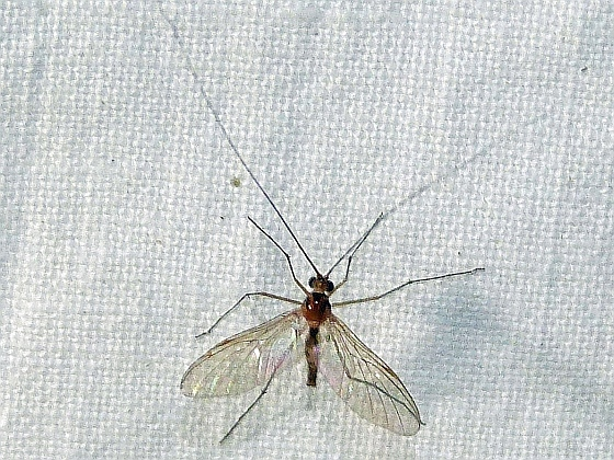 Macrocera  - Macrocera - male